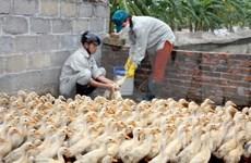 Plus de 762 milliards de dongs consacrés à la lutte contre la grippe aviaire