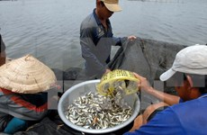 """La saison des """"ca linh"""" dans le delta du Mékong"""
