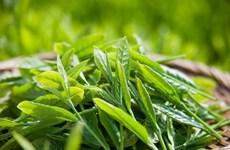 Le thé: L'or vert de Tuyên Quang