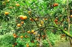 """Lai Vung, le royaume des """"mandarines roses"""""""