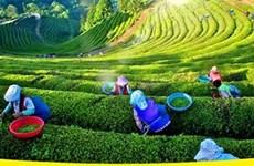 Le Festival du thé de Dai Tu déploie ses essences et saveurs