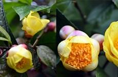 Quang Ninh: ouverture du festival du camélia à fleurs d'or