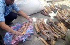 Saisie de plus de 180 kg d'ivoire en provenance d'Angola
