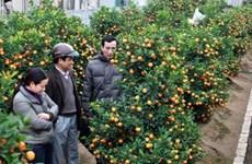   Kumquat bonsaï, la nouvelle mode du Têt