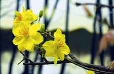 La fleur d'abricotier, symbole du Têt au Sud du Vietnam