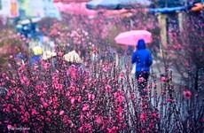 Les marchés des fleurs, élément culturel du Têt