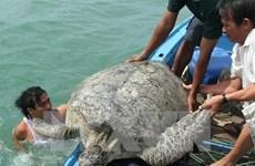 Le Vietnam lance un plan pour la conservation des tortues marines