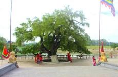 """Un barringtonia de 600 ans reconnu """"arbre patrimonial"""" à Vinh Phuc"""