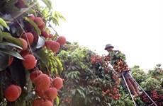 Les exportations de fruits vietnamiens à l'étranger ont le vent en poupe