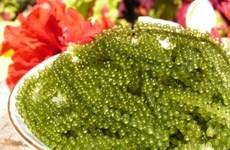 La culture des algues de raisins de mer à Ninh Thuan, un métier rentable