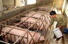 La JICA aide Hoa Binh dans l'élevage des races porcines indigènes