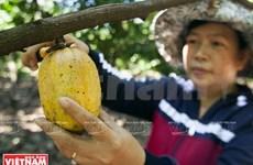 Culture intercalaire du cacaoyer, un modèle économique à Dông Nai