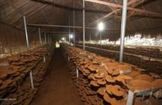 La lucrative culture des champignons linh chi à Dong Nai