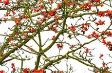 La floraison des kapokiers sous l'objectif photo