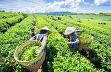 Thé de Thai Nguyen: Europe et Amérique du Nord considérés comme des marchés cibles