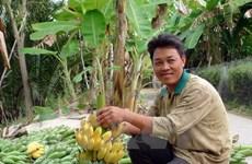 Cân Tho cherche à exporter ses bananes vers la R. de Corée