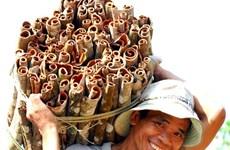 Exportations annuelles de 400 tonnes de cannelle de Tra Bông