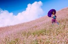 Ha Giang : bientôt la 3e édition de la Fête des fleurs de sarrasin