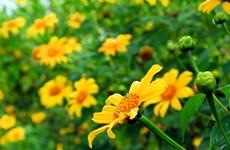 Gia Lai : Bientôt de la fête des fleurs de tournesol sauvage de Chư Đăng Ya