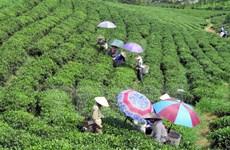 Le thé de Thai Nguyen se distingue à un concours aux Etats-Unis