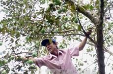 Le premier lot de pommes de lait de Tiên Giang est exporté aux États-Unis