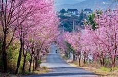 Da Lat à la saison de la floraison des abricotiers-cerisiers (Mai anh dao)