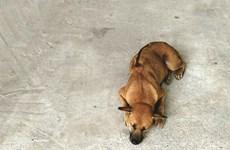 Le chien de Phu Quôc, une fierté du Vietnam