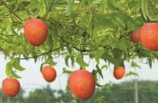 La momordique, le fruit rouge du Têt