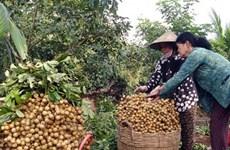 Les longanes frais vietnamiens pourraient être expédiés en Australie à partir de 2019