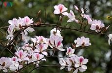 Ouverture de la fête de la fleur de bauhinie 2018 à Son La