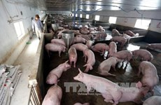 Le secteur de l'élevage, entre opportunités et défis du CPTPP