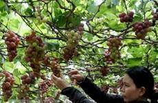 Les vignobles de Ninh Thuan attirent les touristes