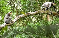 Quang Nam lance un projet de protection de primates  en voie de disparition