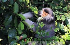 Projet de préservation des primates rares à Thanh Hoa
