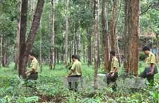 Tay Nguyen : reboisement plus de 12.500 ha de forêt pendant la saison des pluies