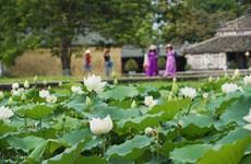 Une variété précieuse de lotus blancs se développe à Dai Noi-Huê