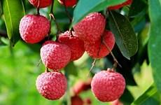 Le Vietnam a exporté 92 000 tonnes de litchis vers 27 pays et territoires
