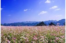 Bientôt la 4ème fête des fleurs de sarrasins sur le plateau karstique de Dông Van