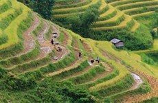Hoàng Su Phi à la saison de récolte du riz