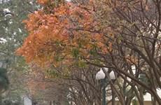 Hanoï à la saison du changement de couleur des feuilles