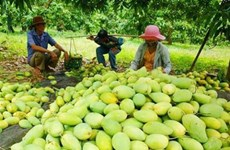 Après le fruit du dragon, la mangue vietnamienne obtient le feu vert du Chili