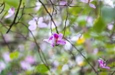 Contempler la beauté des fleurs de bauhinie dans les rues de Hanoï