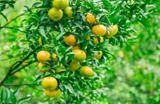 Lang Son ou le royaume des mandarines