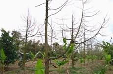 Tien Giang fait revivre les vergers de durian touchés par l'intrusion d'eau salée