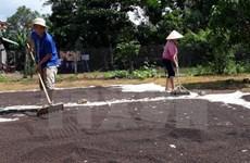 Dong Nai : les exportations du poivre maintiennent une bonne croissance