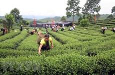 Le Vietnam renforce la production de thé aux normes de sécurité sanitaire des aliments