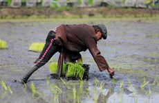 Thaïlande: les exportations de riz en 2021 pourraient être pire qu'en 2020