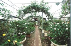Les roses anciennes, une nouvelle tendance qui s'impose