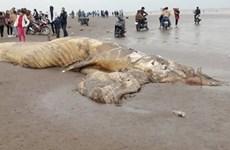 Enterrement d'une baleine de près de 10 tonnes échouée sur la côte de Ninh Binh