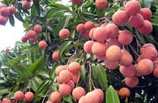 Promotion de l'exportation du litchi de Hai Duong